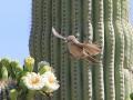 18_Saguaro_IMG_7925_w